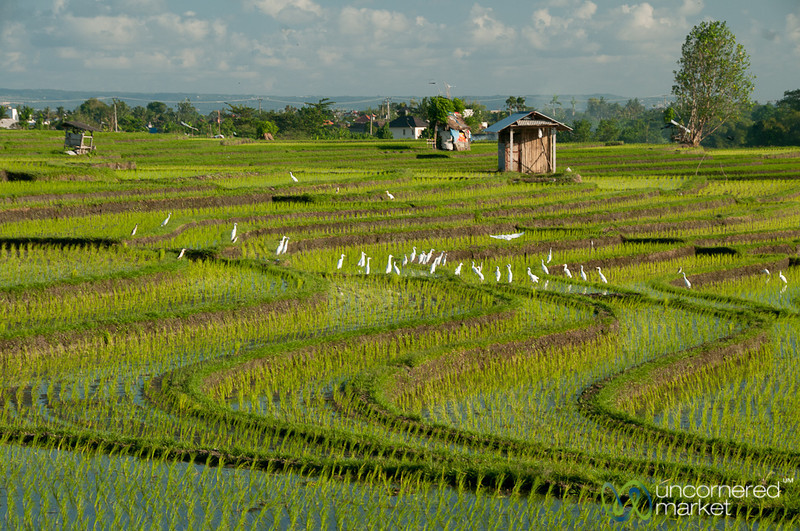 Birds and Rice Fields - Bali, Indonesia