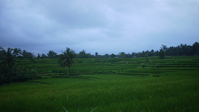 Balinese rice paddies outside of Ubud