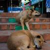 The dogs of Doi Suthep.