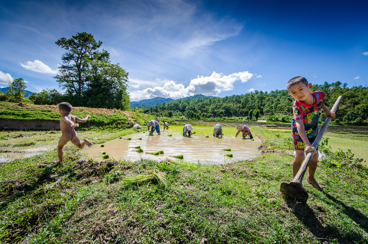 a Karen family plants rice in their field.