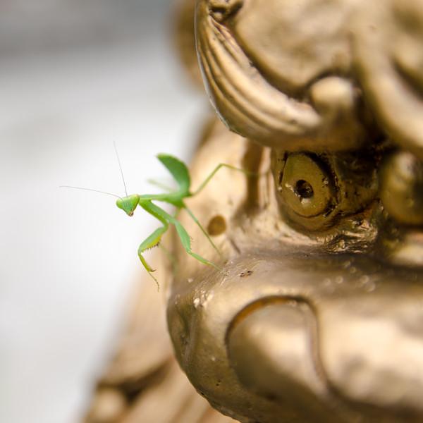 Praying mantis on golden dragon.