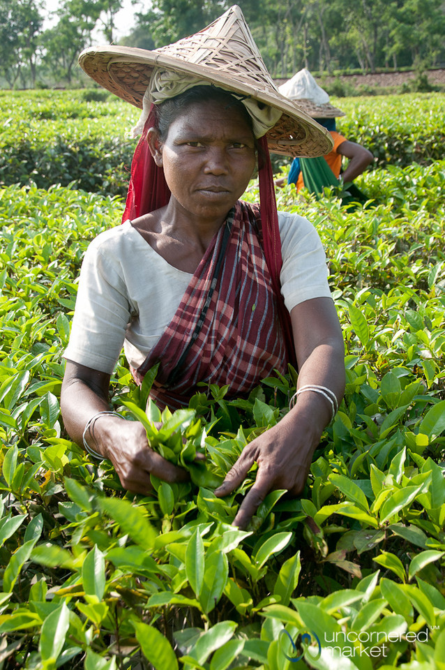 Tea Picking Outside Srimongal, Bangladesh