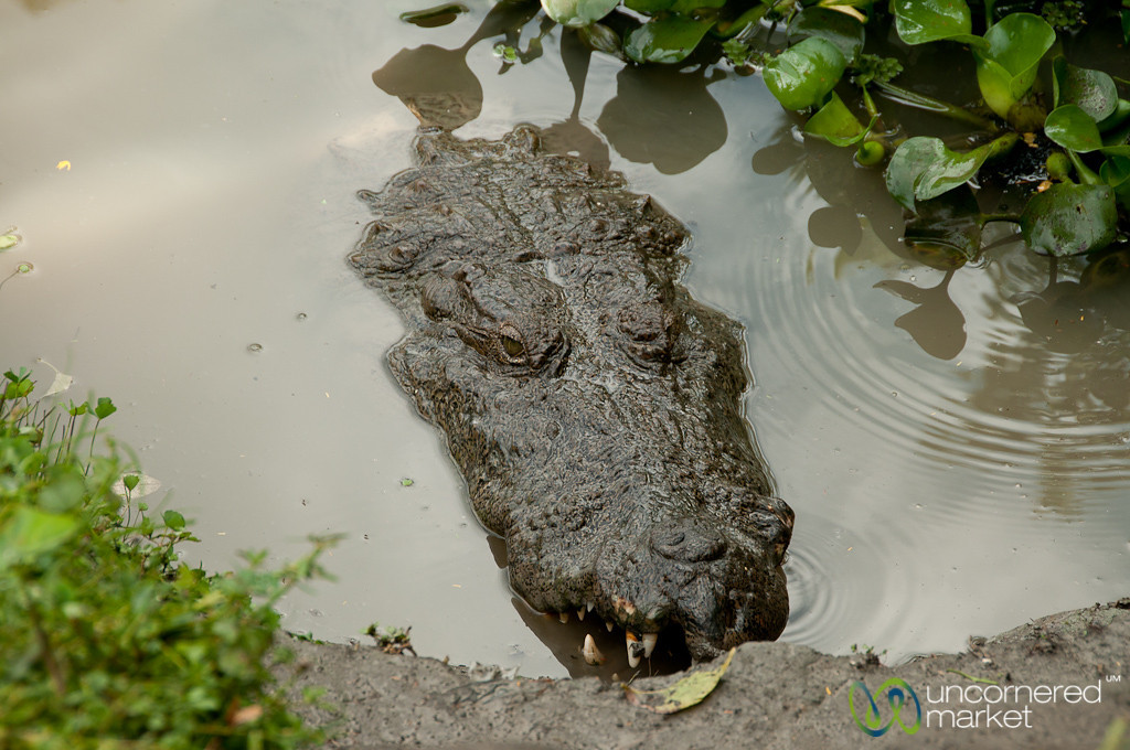 Hungry Crocodile - Bagerhat, Bangladesh