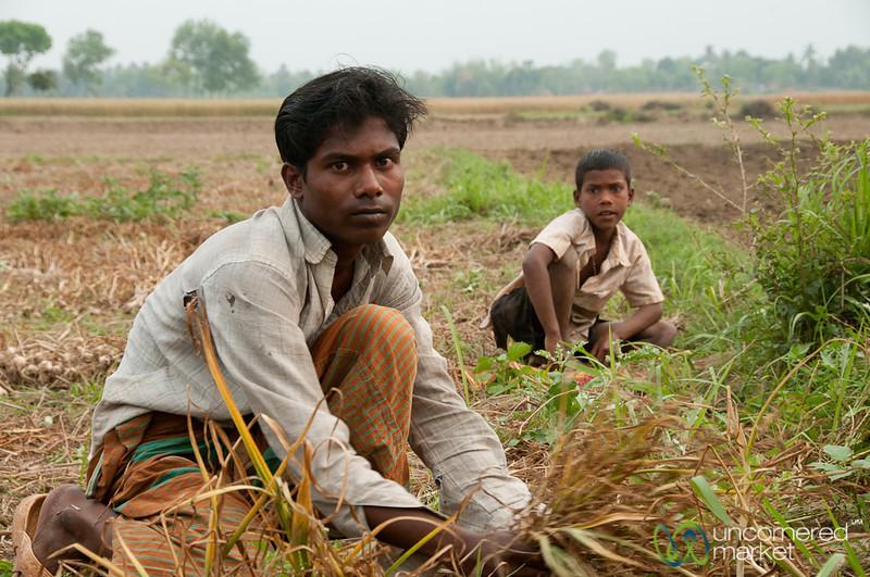 Families Picking Garlic in Field - Hatiandha, Bangladesh