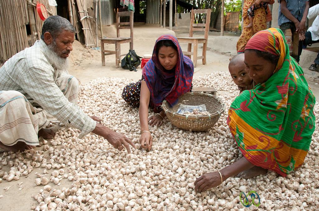 Garlic Harvest Sorting - Hatiandha, Bangladesh