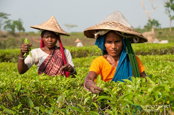 Tea Picking Outside Srimongal, Bangladesh
