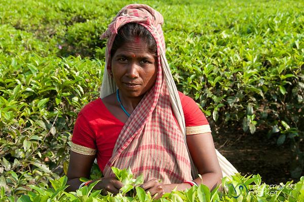 Picking Tea Leaves - Srimongal, Bangladesh