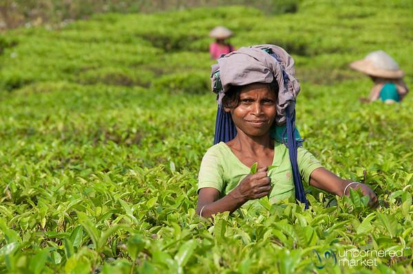 Tea Picker - Srimongal, Bangladesh