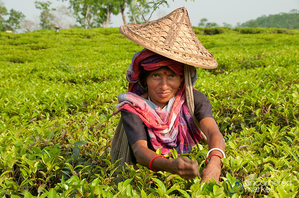 Picking Tea - Srimongal, Bangladesh