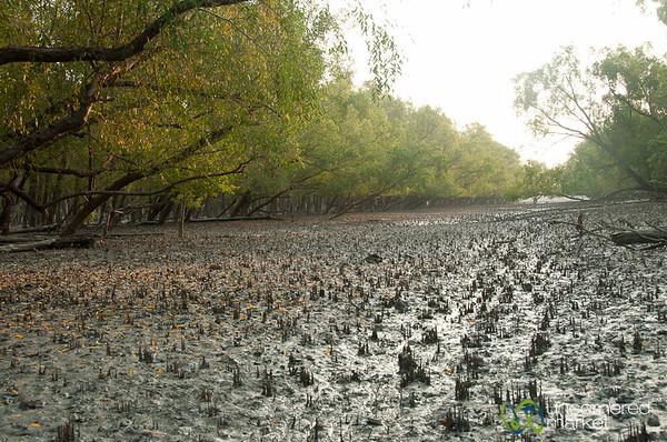 Mangove Forest and Mud  - Sunarbans, Bangladesh