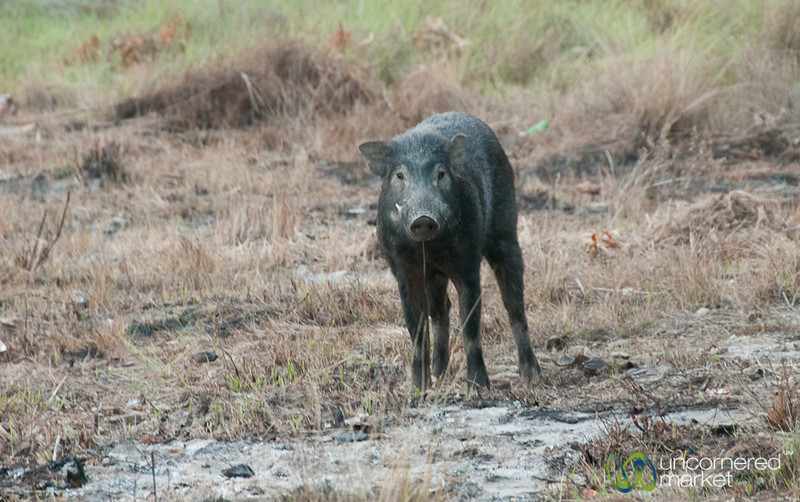 Wild Boar in Sundarbans, Bangladesh