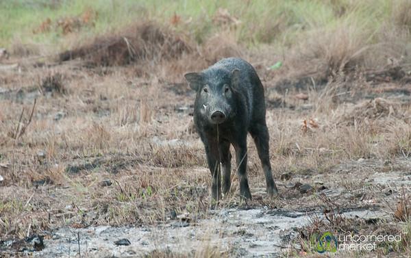 Wild Boar in Sundarbans, Bangladesh