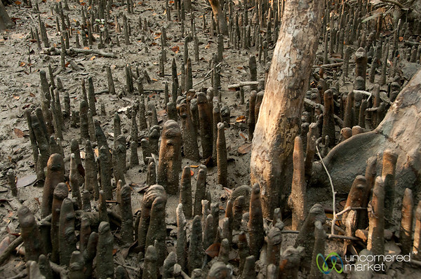 Mangrove Forest Roots - Sundarbans, Bangladesh
