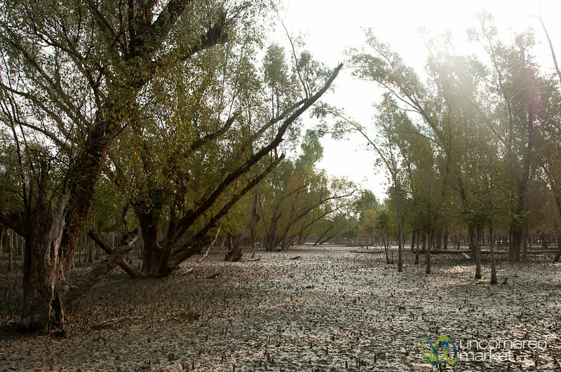 Mangrove Forest and Mud - Sundarbans, Bangladesh