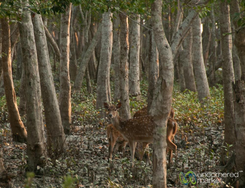Deer in the Mangrove Forest - Sundarbans, Bangladesh