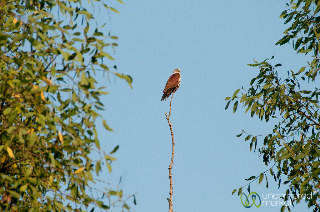 Eagle on a Stick - Sundarbans, Bangladesh