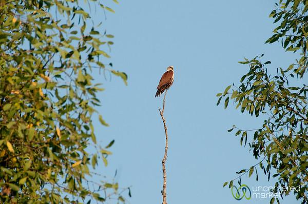 Eagle on a Stick - Sundarbans, Bangladesh