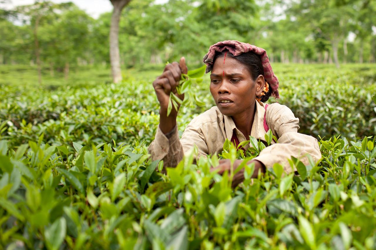 Tea Plantation in Bangladesh