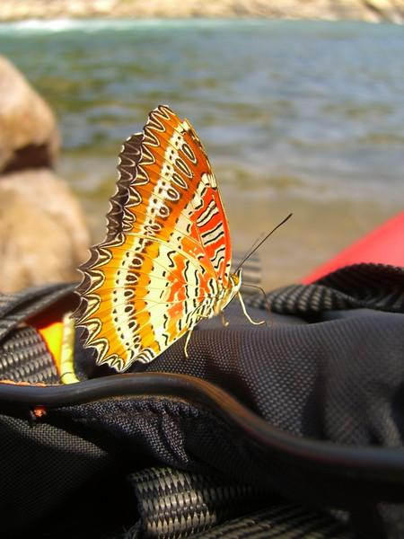Tiger Butterfly - Vang Vieng, Laos