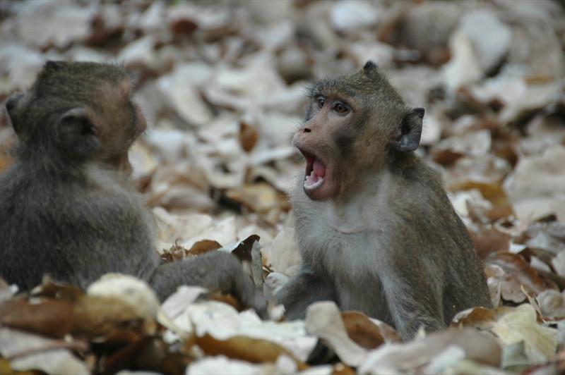Monkeys - Angkor, Cambodia