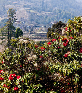 Beautiful rhodedendrons line the roads in central Bhutan
