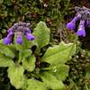 Bh 1637 Primula bellidifolia