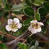 Bh 0174 Cotoneaster microphyllus