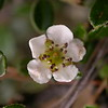 Bh 0175 Cotoneaster microphyllus