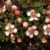 Bh 1572 Cotoneaster microphyllus