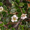 Bh 0173 Cotoneaster microphyllus