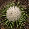 Bh 2375 Saussurea gossypiphora