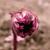 Bh 2966 Cremanthodium palmatum