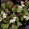 Bh 2302 Eutrema hookeri (= Taphrospermum himalaicum= Cochlearia himalaica)