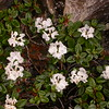 Bh 2047 Rhododendron anthopogon