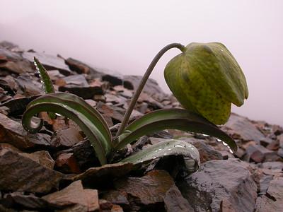 Bh 2144 Fritillaria delavayi