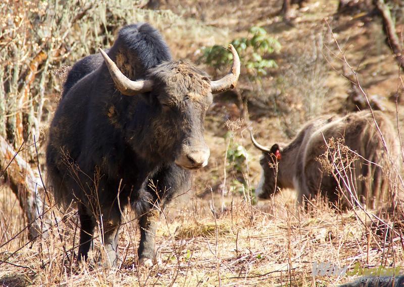 A yak found at Lawa La Pass