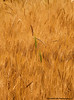 Buckwheat Crop