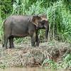 First pygmy elephant, Kinabatangan River, Bilit, Sabah, Malaysia