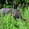 Pygmy Elephants. Kinabatangan River. Bilit. Sabah, Malaysia