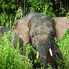 Pygmy elephants feeding along edge of Kinabatangan River, Bilit, Sabah, Malaysia