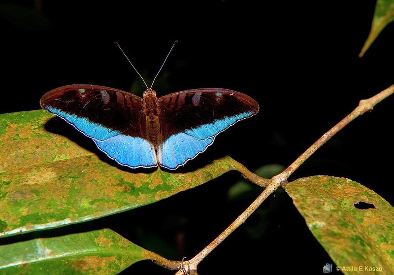 Butterfly (Tanaecia iapis puseda), Santubong Rainforest, Sarawak, Borneo, Malaysia
