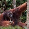 "Orang-utan (Pongo pygmaeus), Male, ""Ritchie"", Semenggoh Wildlife Rehab Centre, Kuching, Sarawak, Borneo, Malaysia"