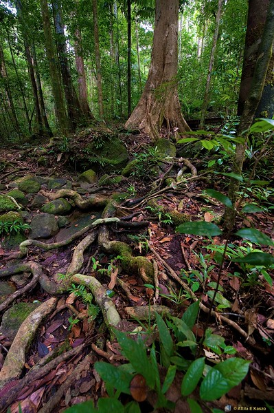 Rainforest, Santubong, Sarawak, Borneo, Malaysia