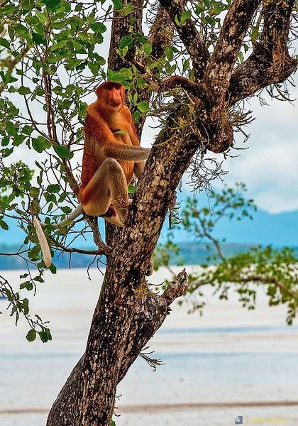 Proboscis Monkey (Nasalis lavartus) Bako NP, Sarawak, Borneo, Malaysia