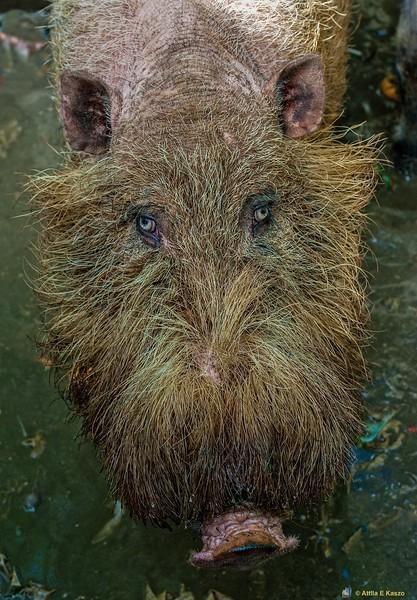 Bearded Pig (Sus babartus), Bako NP, Sarawak, Borneo, Malaysia
