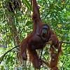 Orang-utan / Baby (Pongo pygmaeus), Semenggoh WRC, Sarawak, Borneo, Malaysia