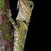 Blue-eyed Angle-headed Lizard (Gonocephalus liogaster), Santubong Rainforest, Sarawak, Borneo, Malaysia