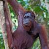Orang-utan (Pongo pygmaeus), Semenggoh WRC, Sarawak, Borneo, Malaysia