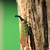 Pyrops (lanternfly)