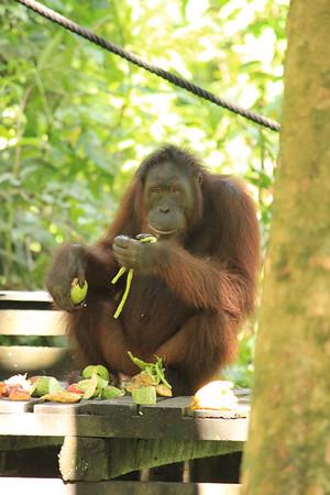 Sepilok Orangutan Rehabilitation Centre, Sabah, Borneo